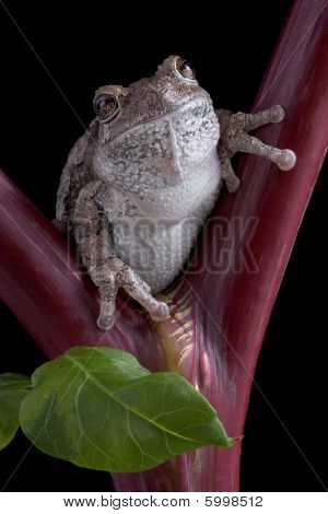 Gray Tree Frog On Red Stem