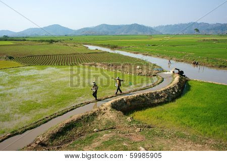 Farmer Pump Water To Vast Rice Field
