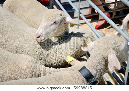 Close View Of Sheep In Sheepfold