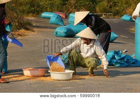 People Dry Corn Of Good Crop
