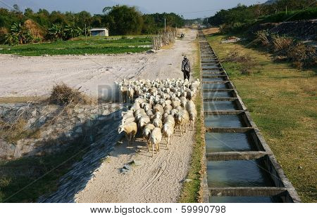 People Graze Herd Of Sheep