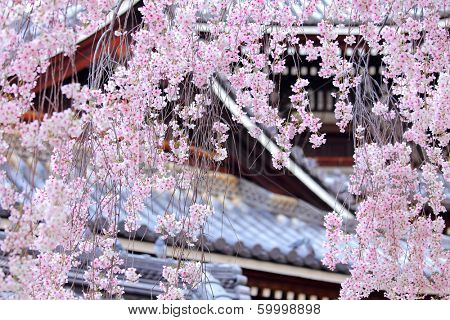 Weeping sakura tree with japanese temple