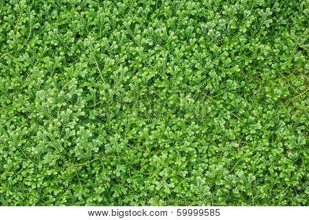 Green Fern Moss As A Background
