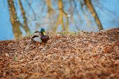 image of male mallard  - Male mallard duck standing by the water - JPG