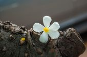 Plumeria Flower On Tree