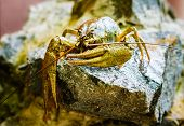 pic of carapace  - Live crayfish on stone near the river close up - JPG