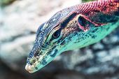 image of giant lizard  - Head of water monitor lizard  - JPG