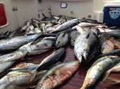 stock photo of yellowfin tuna  - Ending a long day of tuna and yellowtail fishing - JPG