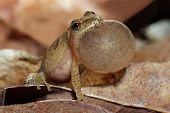 Male Spring Peeper Singing In Spring