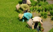 Group Of Vietnamese Farmer Sow Rice
