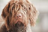 Portrait of a beautiful wirehaired pointing griffon