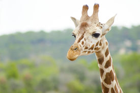picture of terrestrial animal  - A close up view of a baby giraffe calf. The Giraffa camelopardalis is the tallest living terrestrial animal and the largest ruminant with extremely long neck and legs horn-like ossicones and distinctive coat patterns