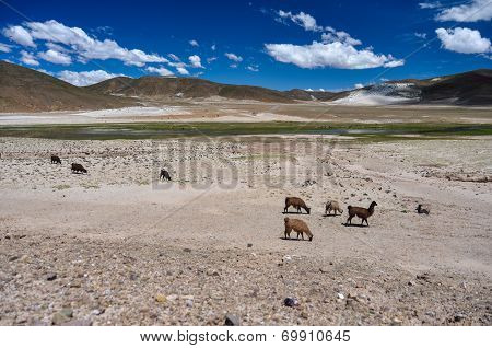 Lamas And Alpagas In Bolivia's Landscape
