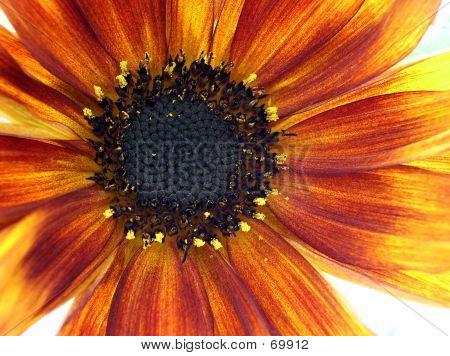 Macro Of Sunflower