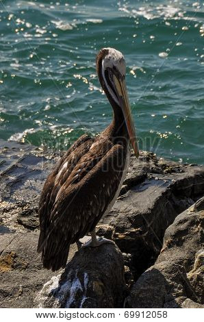 Pelican In Vina Del Mar, Chile