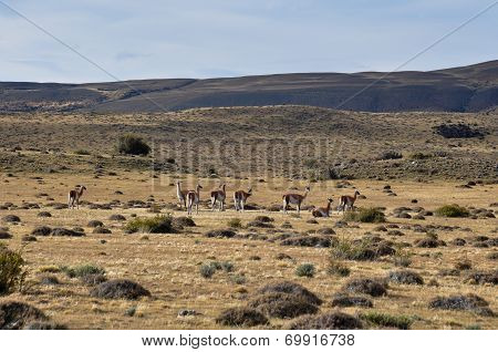 Group Of Guanacos Near Parque Nacional Torres Del Paine, Chile