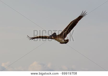 Gracious Pelican Flying Over Puerto Vallarta, Mexico
