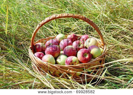 Apples in a Basket outdoor.