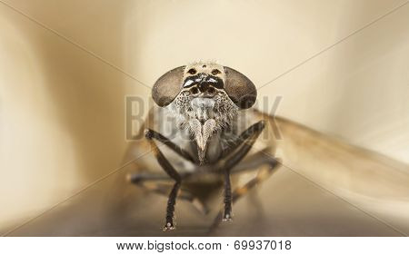Gadfly Or Horse-fly Portrait