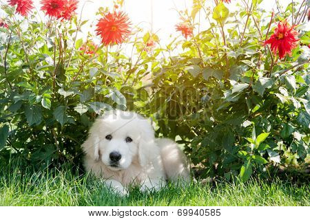 Cute white puppy dog lying on grass in flowers. Polish Tatra Sheepdog, known also as Podhalan or Owczarek Podhalanski