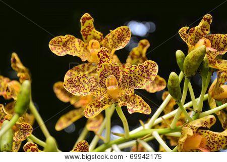 Belamcanda Chinensis