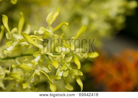 Bright Yellow Green Curly Dendrobium Orchids Close Up