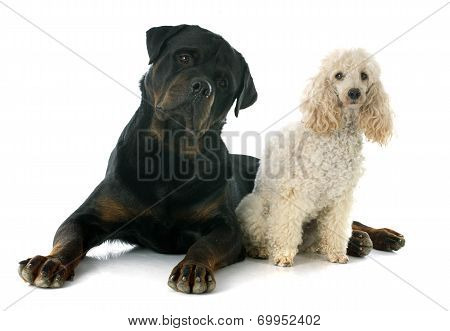 Rottweiler And Poodle