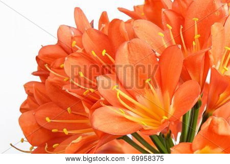Closeup Of Kaffir Lily Flowers, Isolated On White