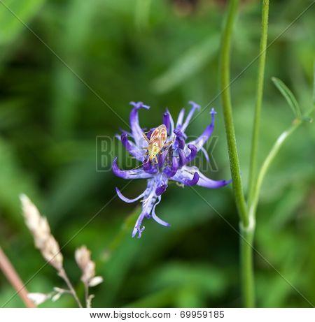 Plant Bug Calocoris Roseomaculatus