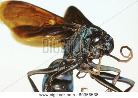 A Close Up Of A Tarantula Hawk Wasp