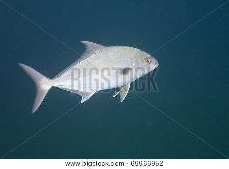Greater Amberjack - Redsea Wreck