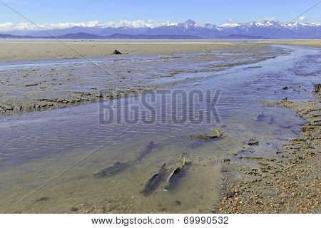 Migrating salmon with mountain background, Alaska