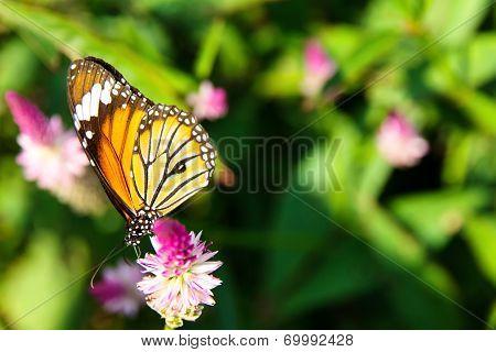 Danaus genutia butterfly on flowers