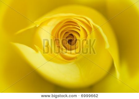 Soft Focus Yellow Rose Flower Macro Close Up