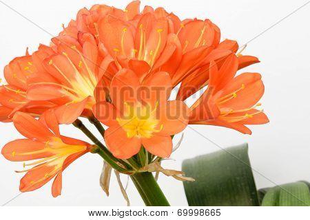 Closeup Of Kaffir Lily Flowers