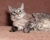 pic of blue tabby  - Tabby cat with blue eyes lying on brown couch - JPG