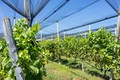 stock photo of hail  - Vineyard with modern system for irrigation and nets against hail - JPG