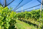 pic of hail  - Vineyard with modern system for irrigation and nets against hail.