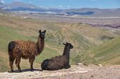 picture of lamas  - Lamas Starring At Beautiful Landscape Of Bolivia - JPG