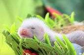 stock photo of ferrets  - Two weeks old cute ferret baby in the nest of hay with decorations - JPG