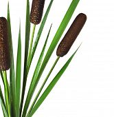 picture of cattail  -  Reeds and cattail plant Isolated on white background - JPG