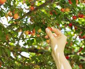 picture of plum fruit  - person picking red mirabelle fruit  - JPG