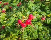 foto of rosa  - Closeup of ripening bright red and orange colored Rose Hips of the Rosa Rugosa shrub in the late summer season - JPG