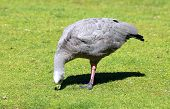 foto of ceres  - a large goose resident in southern Australia - JPG