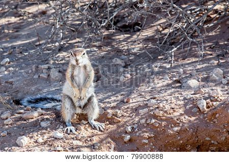 South African Ground Squirrel Xerus Inauris