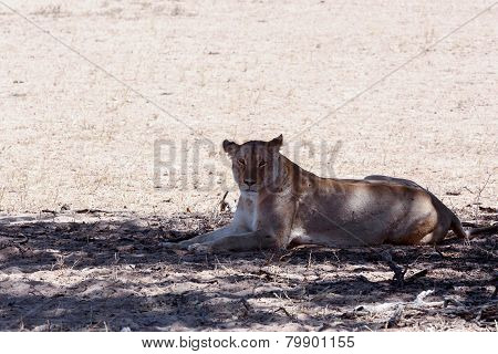 Beautiful Lioness In Shade, Kalahari