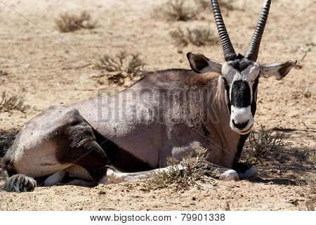 Portrait Of Gemsbok, Oryx Gazella