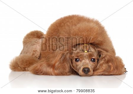 Red Toy Poodle On White Background