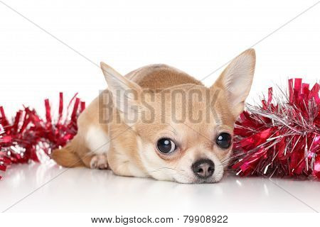 Chihuahua Dog In Garlands