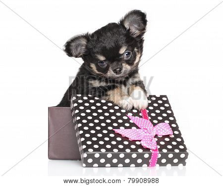 Chihuahua Puppy In Gift Box